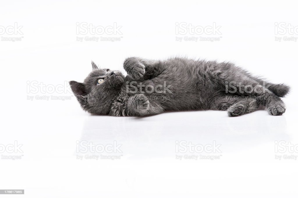 beautiful cat royalty-free stock photo