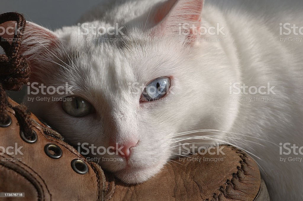Beautiful Cat Resting on Man's Boot royalty-free stock photo
