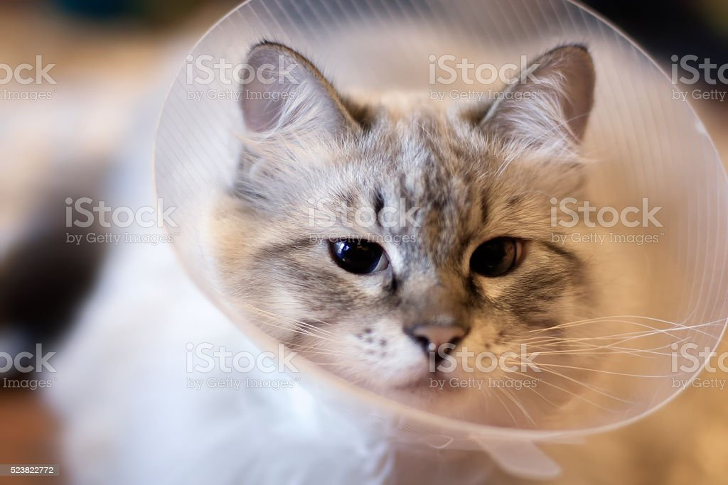 Beautiful cat Siberian Neva Masquerade in a plastic collar stock photo