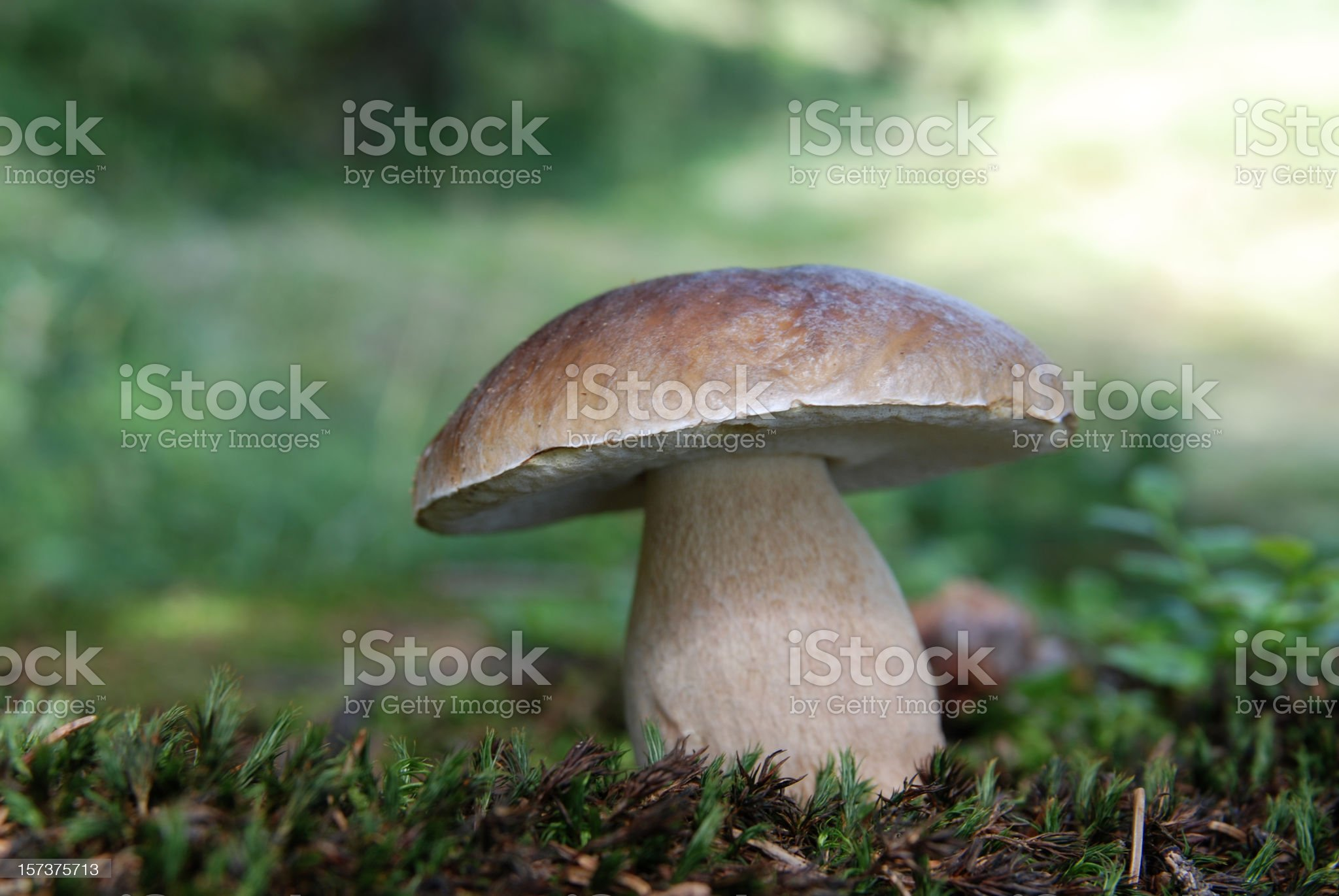 beautiful cep mushroom in the forest on moss royalty-free stock photo