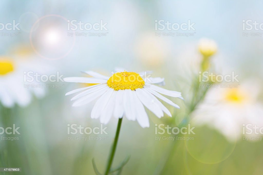 Beautiful chamomile flower on a sunlight royalty-free stock photo
