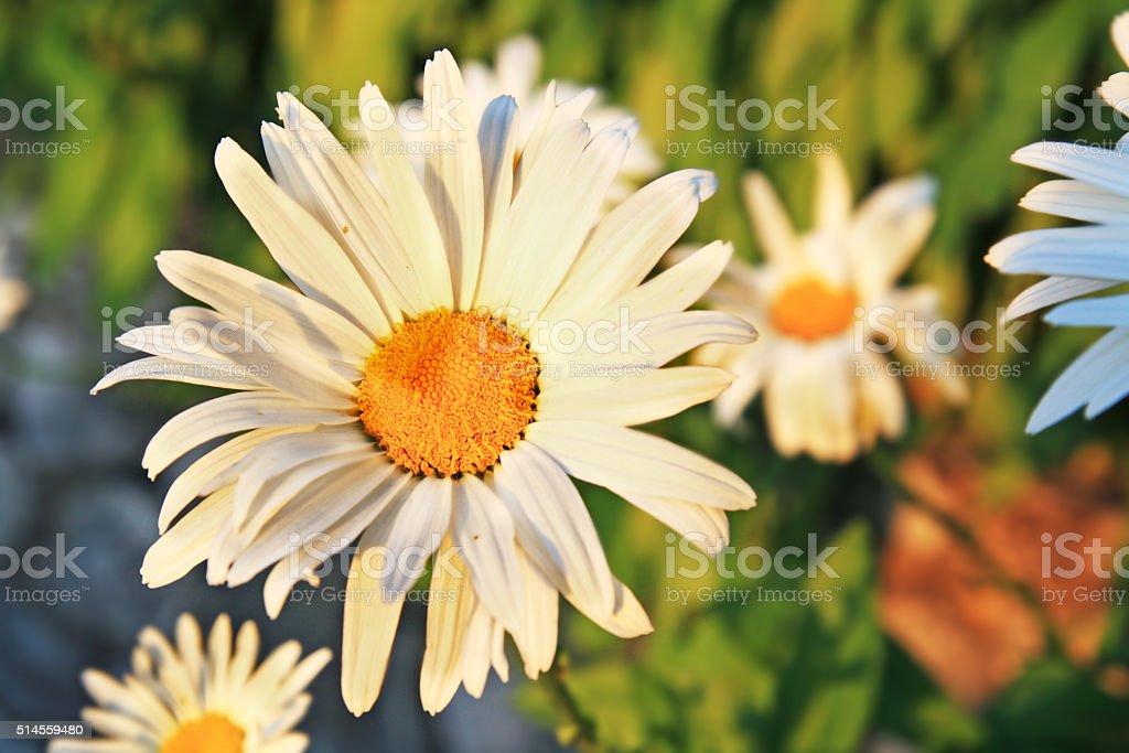 Beautiful Chamomile flower stock photo
