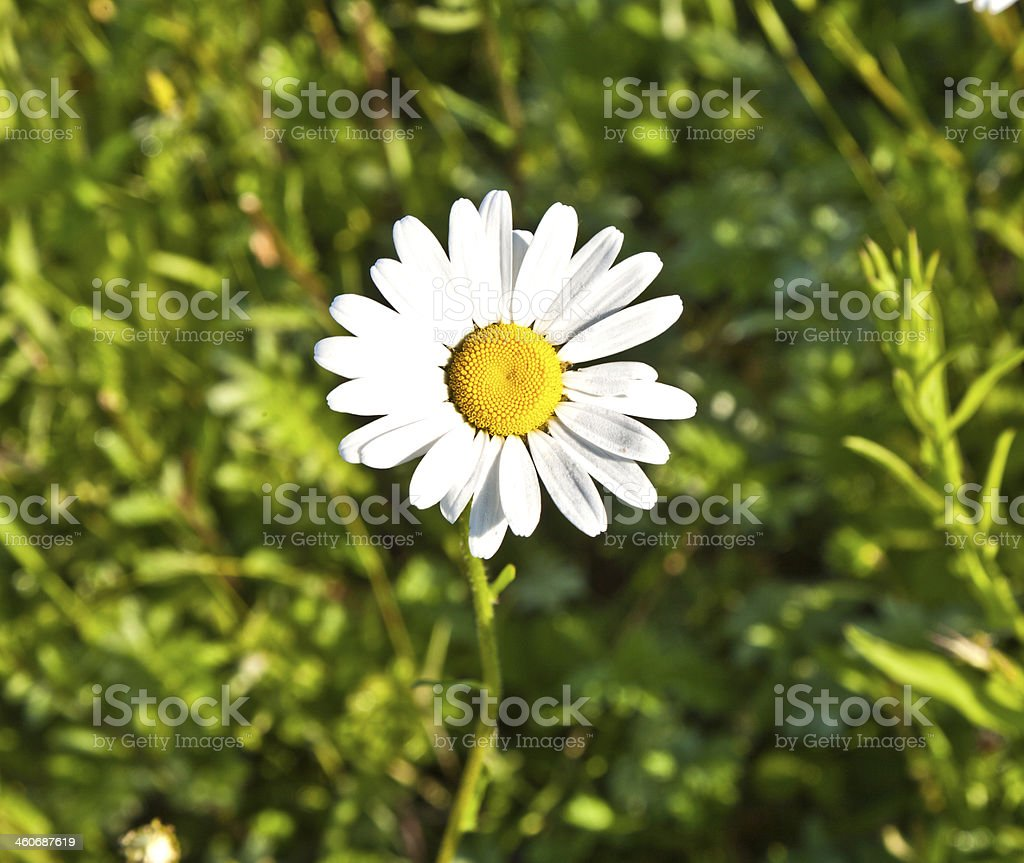 beautiful chamomiles in the meadow royalty-free stock photo