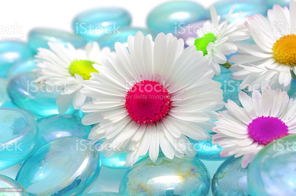 Beautiful Chamomiles with Colorful Middles on Blue Glass Stones royalty-free stock photo