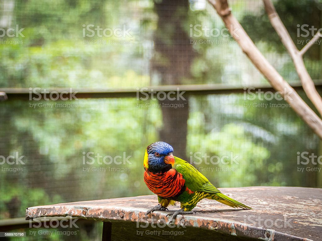 beautiful Chattering red Lory at tree stock photo