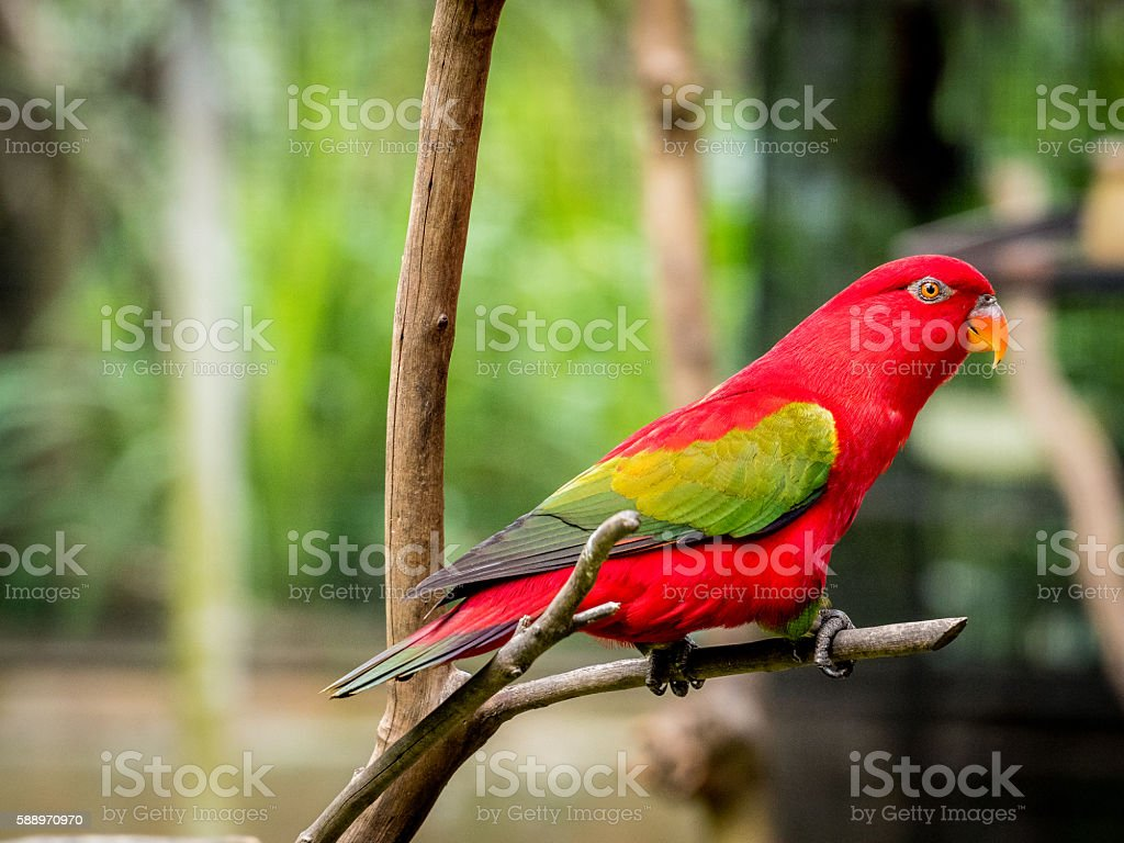 beautiful Chattering red Lory stock photo