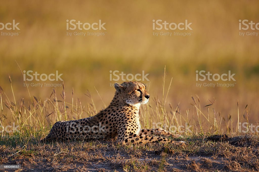 Beautiful Cheetah lying in the bush stock photo