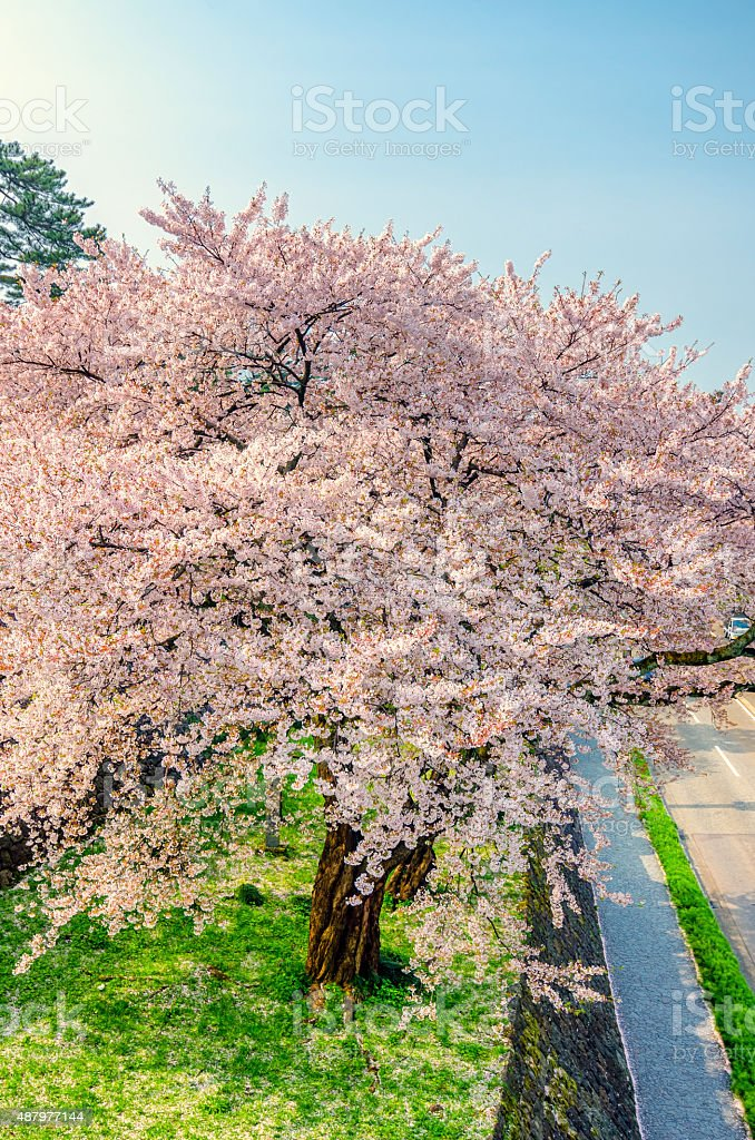 Beautiful cherry blossom in Japan royalty-free stock photo