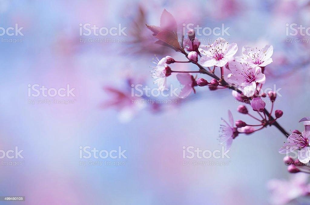 Beautiful cherry blossom royalty-free stock photo