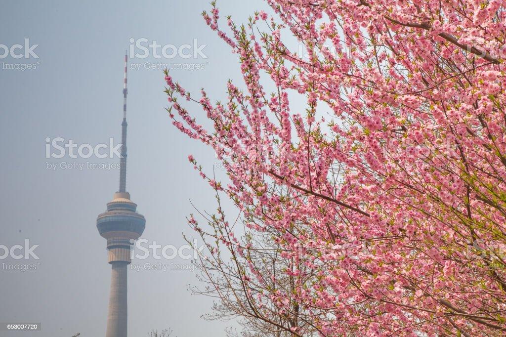 Beautiful cherry blossom sakura with nice blue sky stock photo