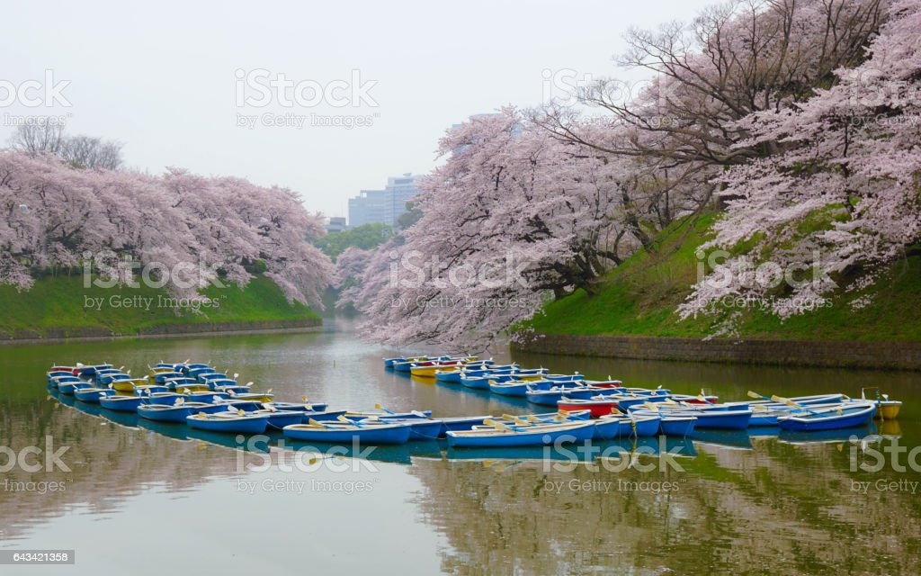 Beautiful cherry blossoms and rowboats with reflection on the lake, Moat, Tokyo, Japan, Boat, Sakura stock photo