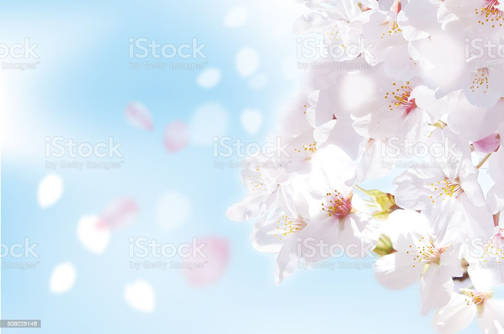 Beautiful cherry blossoms of Japan stock photo