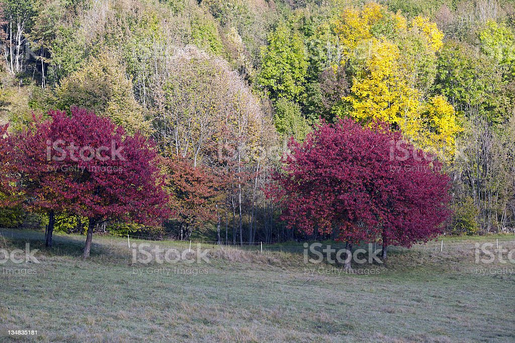 Beautiful Cherry Trees in Autumn Slovenia royalty-free stock photo