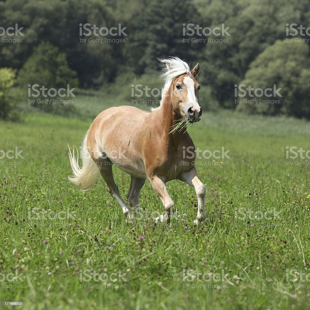 Beautiful chestnut horse with blond mane running in freedom stock photo