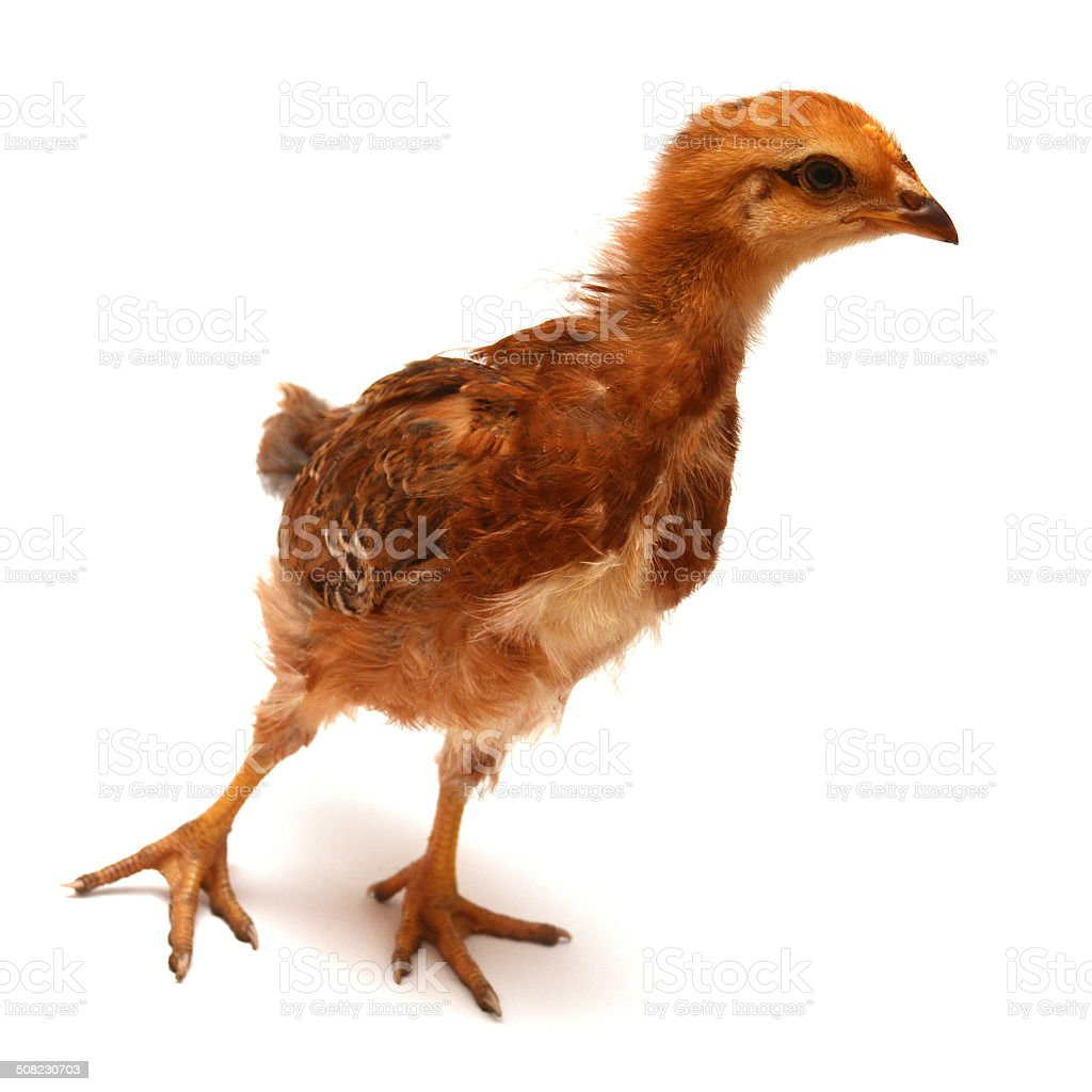 Beautiful chick stock photo
