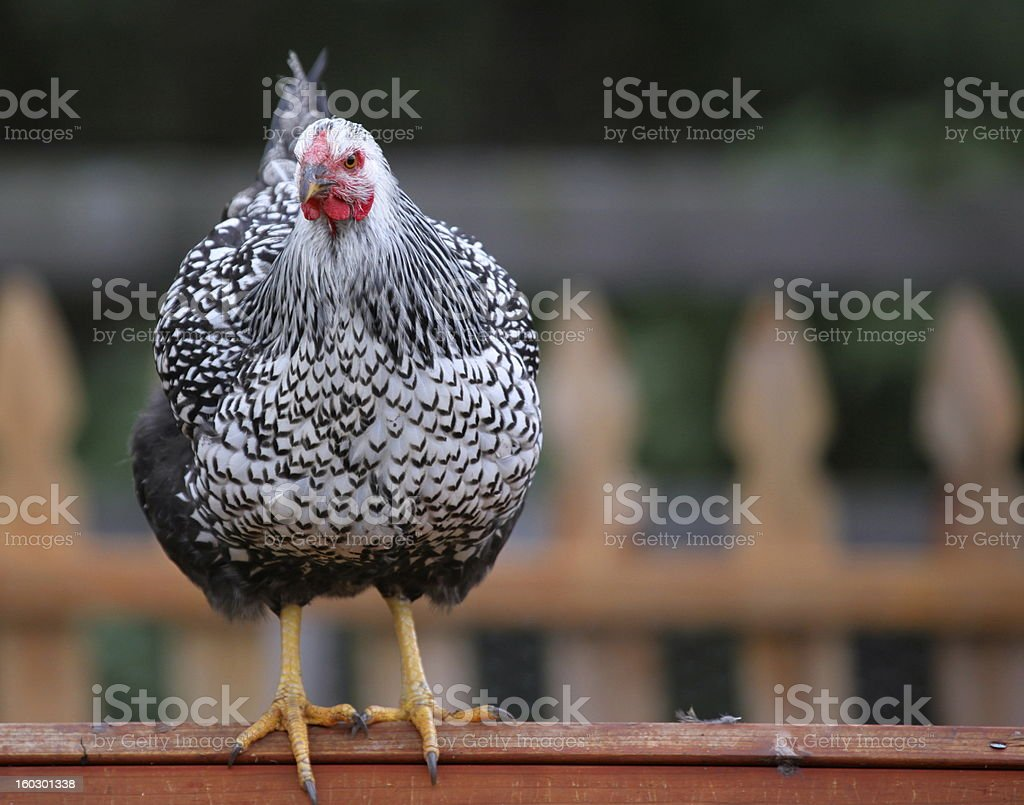 beautiful chicken perched on coop in urban neighborhood royalty-free stock photo