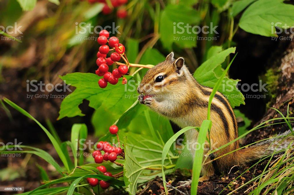 Beautiful chipmunk eating berries viburnum. stock photo