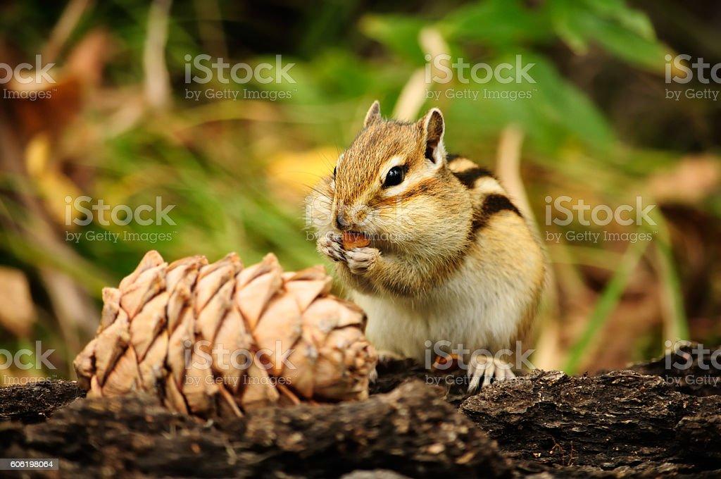 Beautiful chipmunk eats pine nuts. stock photo
