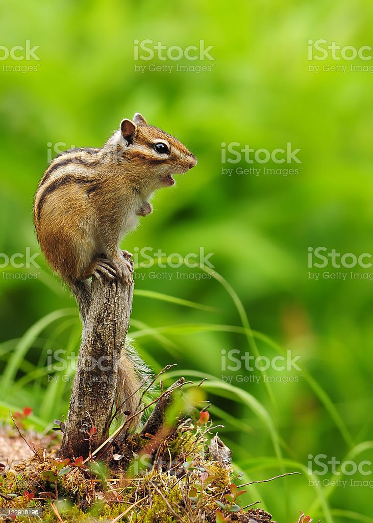 A beautiful chipmunk on a branch stock photo