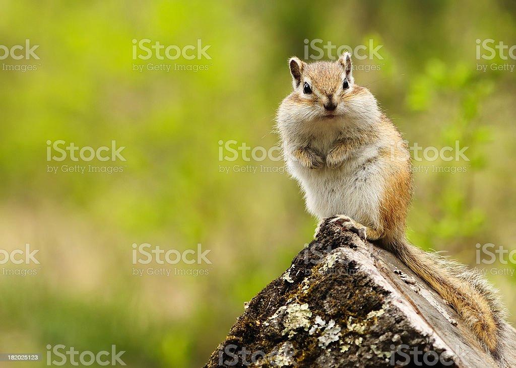 Beautiful chipmunk. stock photo