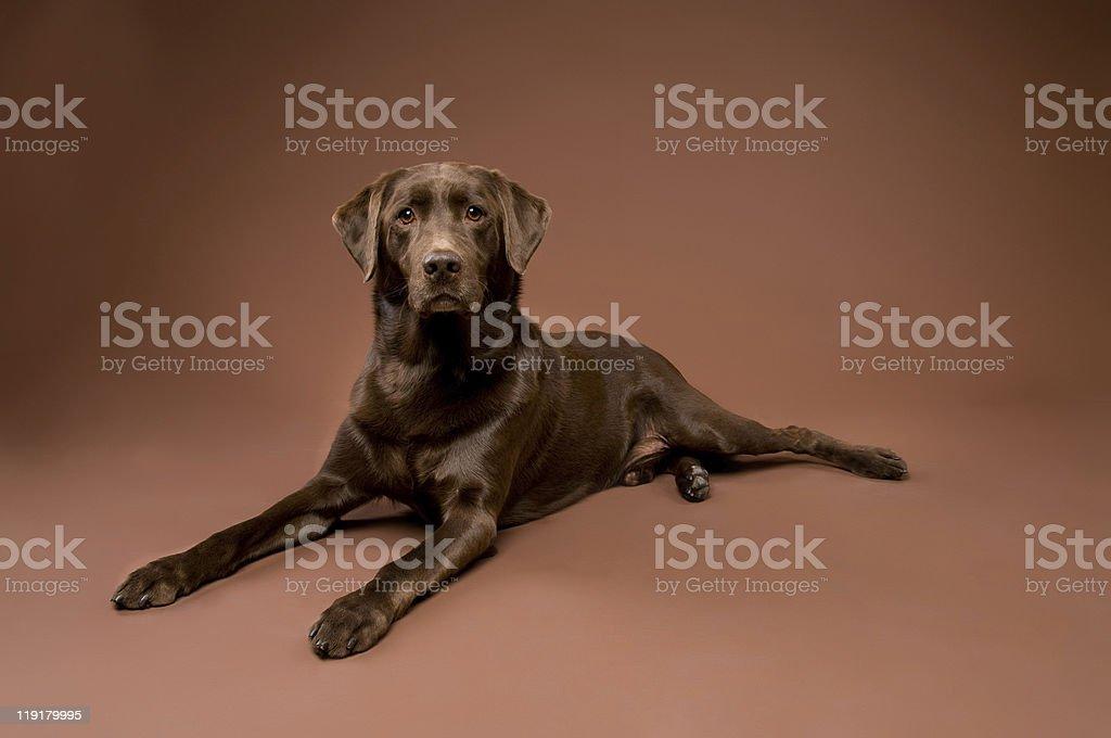 Beautiful Chocolate Labrador Retriever Dog stock photo
