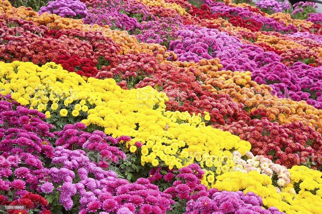 Beautiful Chrysanthemum flower beds stock photo