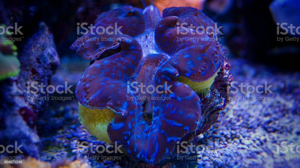 Beautiful clam in coral reef aqaurium stock photo