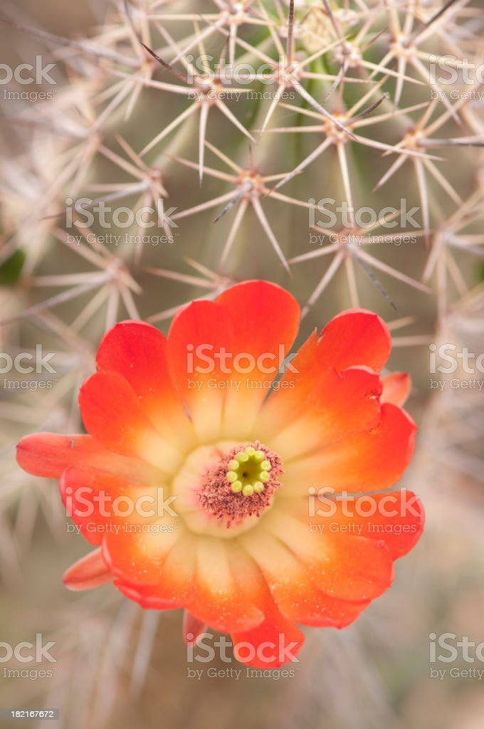 Beautiful Claret Cup  Hedgehog Blossoms stock photo