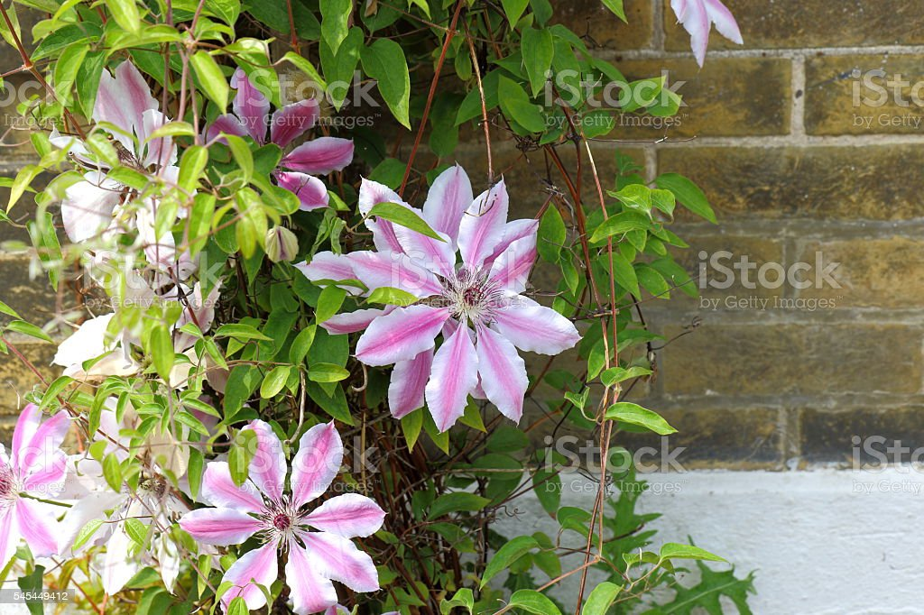Beautiful Clematis Nelly Moser stock photo