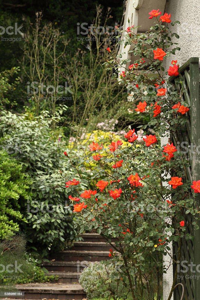 Beautiful climbing rose stock photo