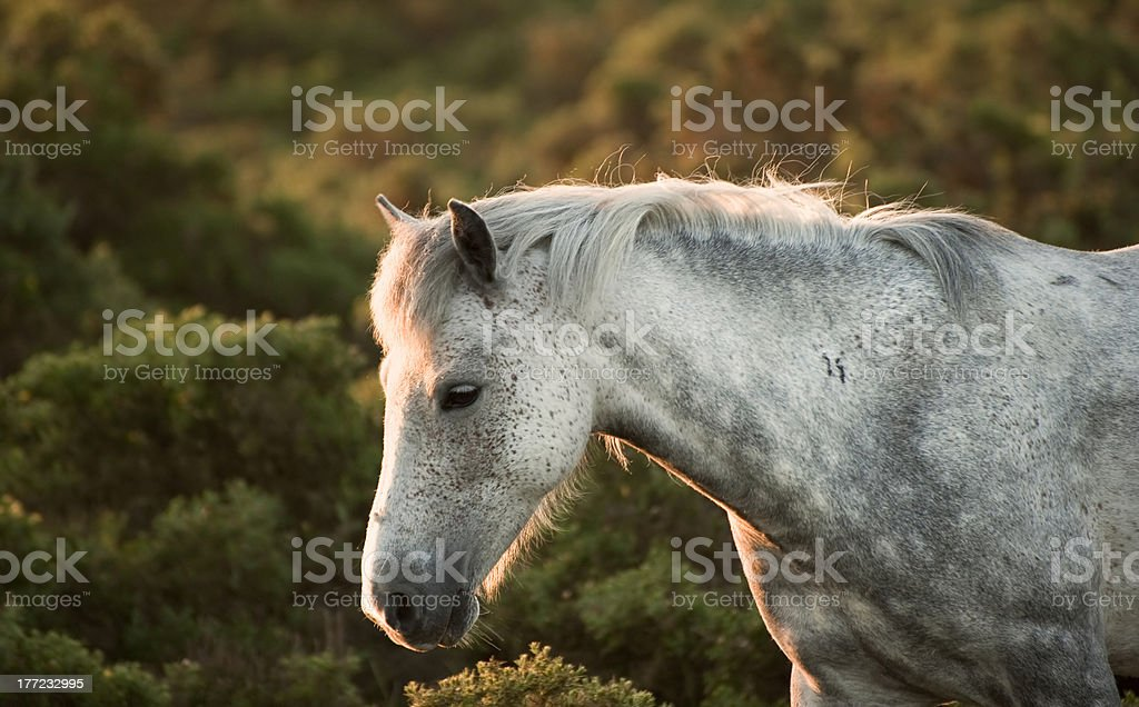 Beautiful close up of New Forest pony royalty-free stock photo
