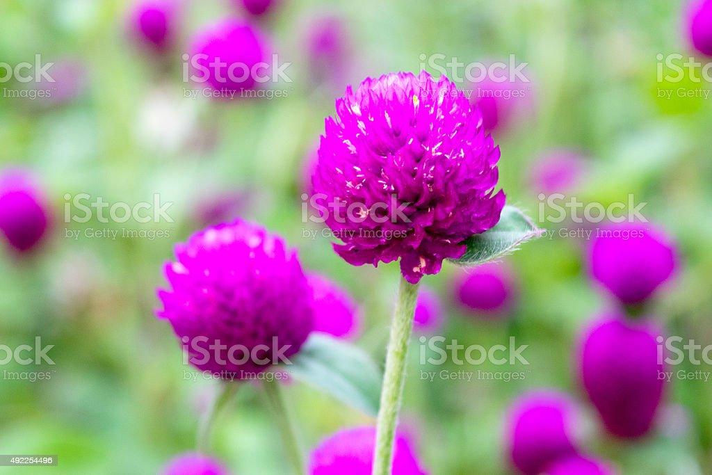 Beautiful Close up purple amaranth flower  nature stock photo