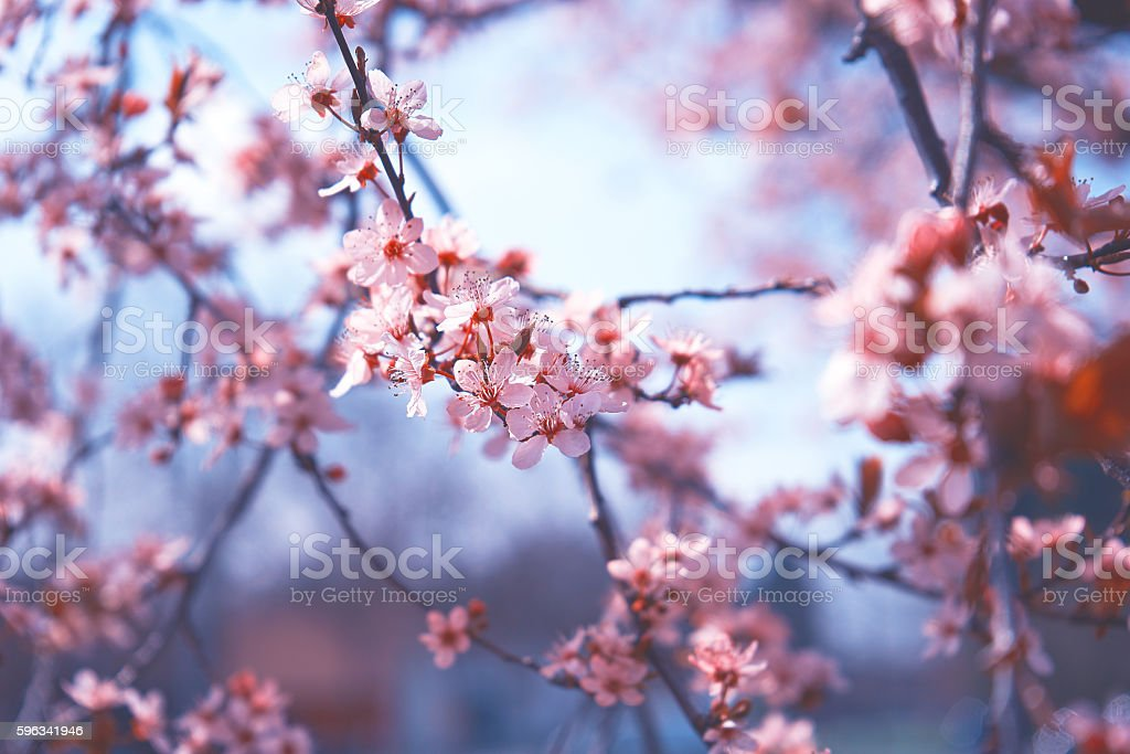 Beautiful closed up pink Cherry blossoms, Sakura stock photo