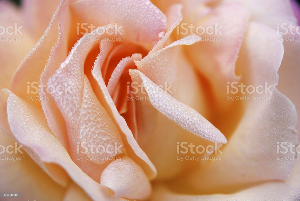 beautiful closeup of a pink rose with dew drops 2 stock photo