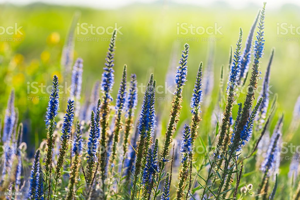beautiful closeup violet prairie flowers stock photo