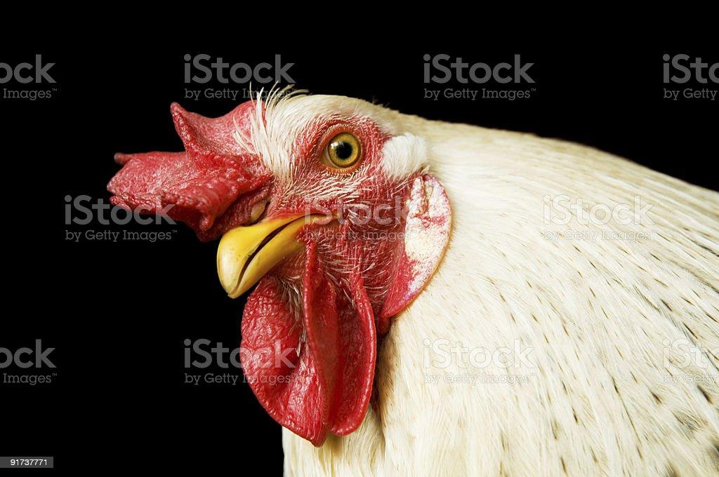 Beautiful cock royalty-free stock photo