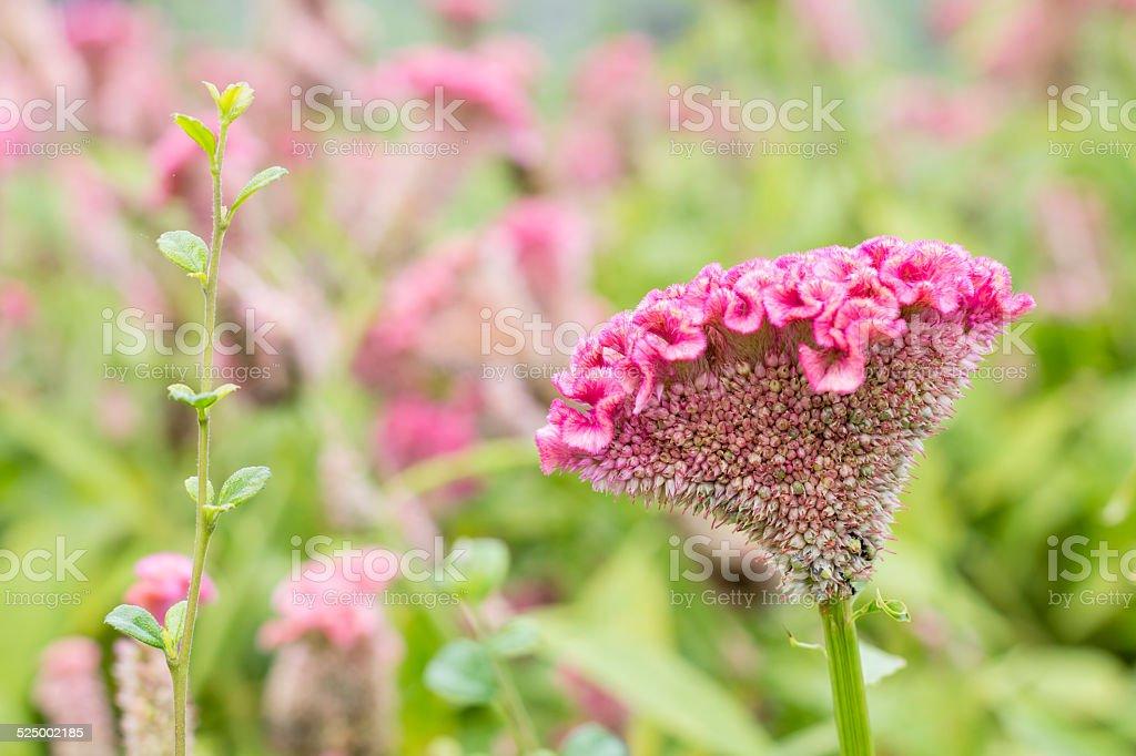 Schöne Blumen Hintergrund mit verwischen Hahnenkamm Lizenzfreies stock-foto