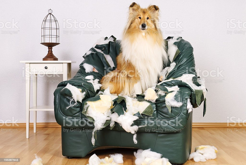 Beautiful collie sitting in tattered leather chair stock photo