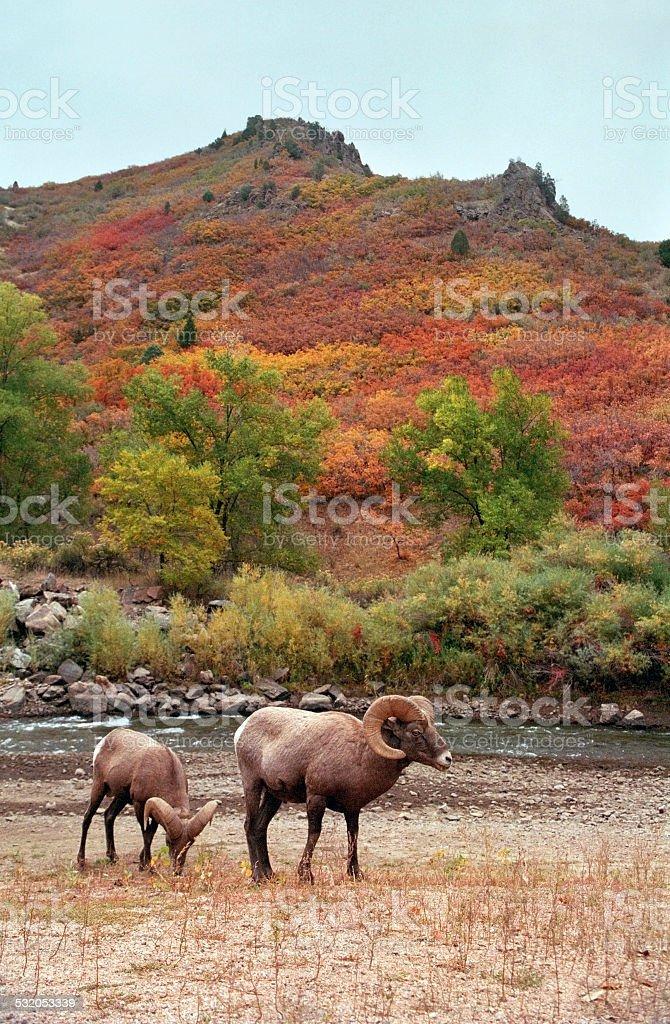 Beautiful Colorado fall colors and Wild bighorn rams stock photo