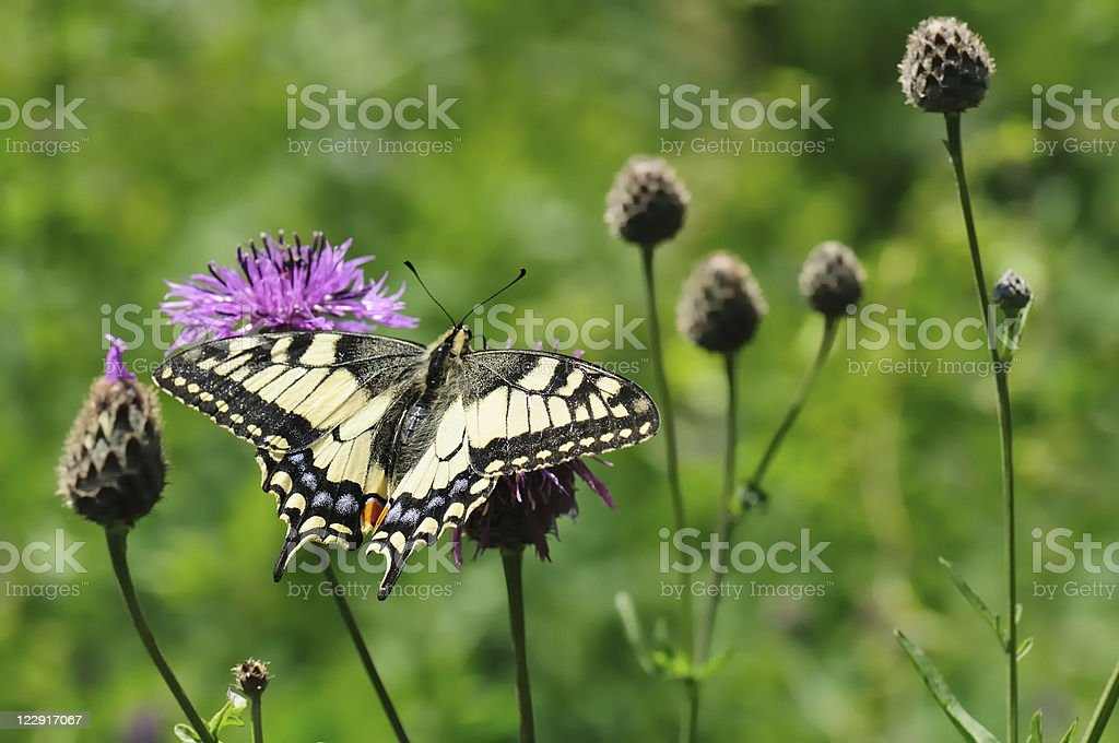 Beautiful colorful butterfly Machaon on a flower. stock photo