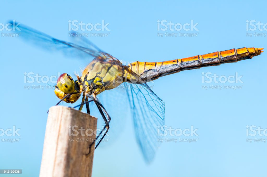 Beautiful colorful dragonfly insect resting on dried bamboo stick in summer taken in close-up stock photo