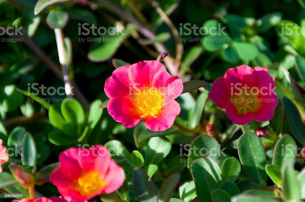 Beautiful colorful flowers Portulaca oleracea stock photo