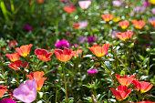 Beautiful colorful flowers, Portulaca oleraceae.