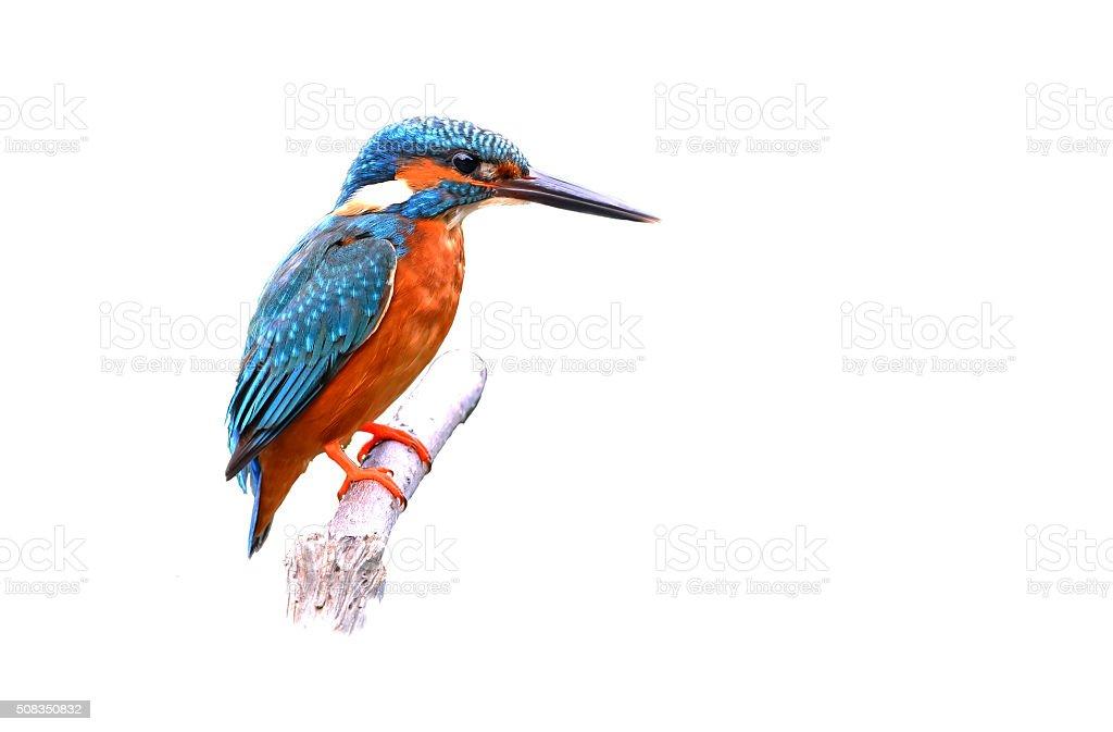Beautiful Colorful Kingfisher bird, male Blue-eared Kingfisher stock photo