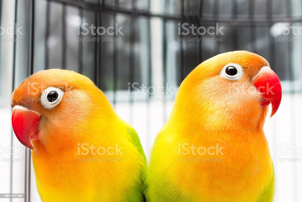 Beautiful Colorful Lovebirds stock photo