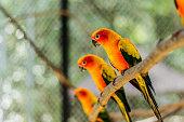 Beautiful colorful parrot, Sun Conure (Aratinga solstitialis), s