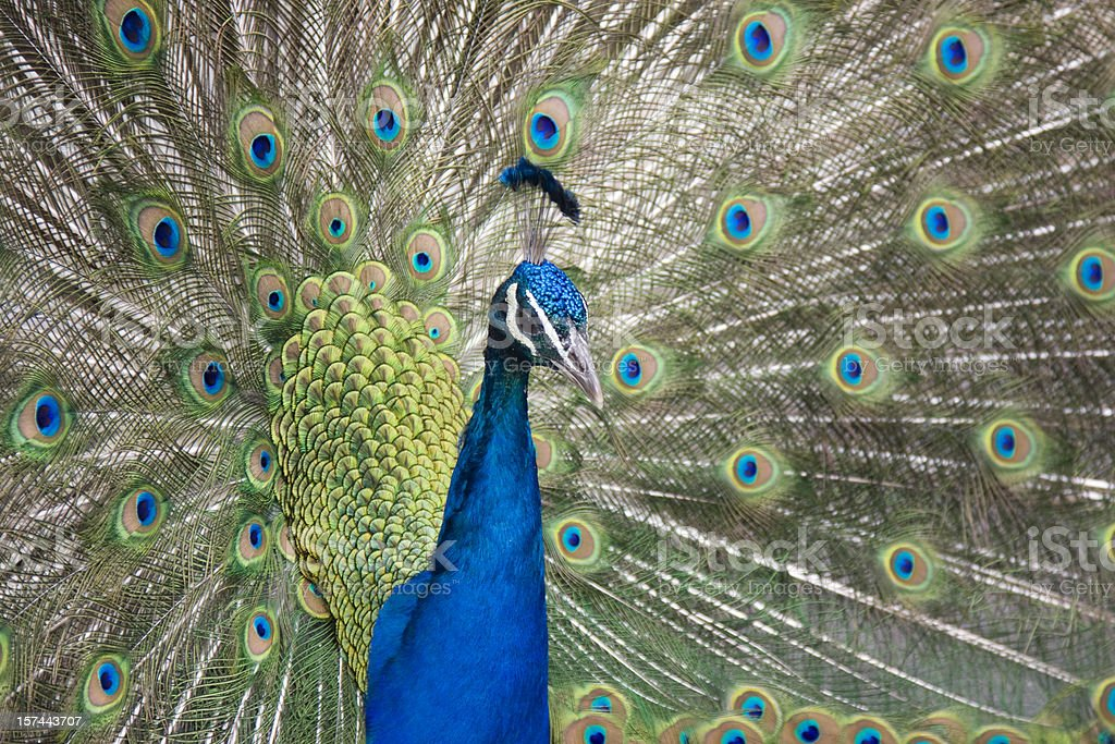 Beautiful colorful peacock with tail feathers all fawned out stock photo