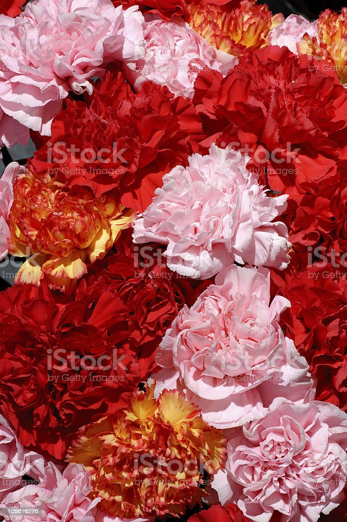 Beautiful colorful peonies royalty-free stock photo