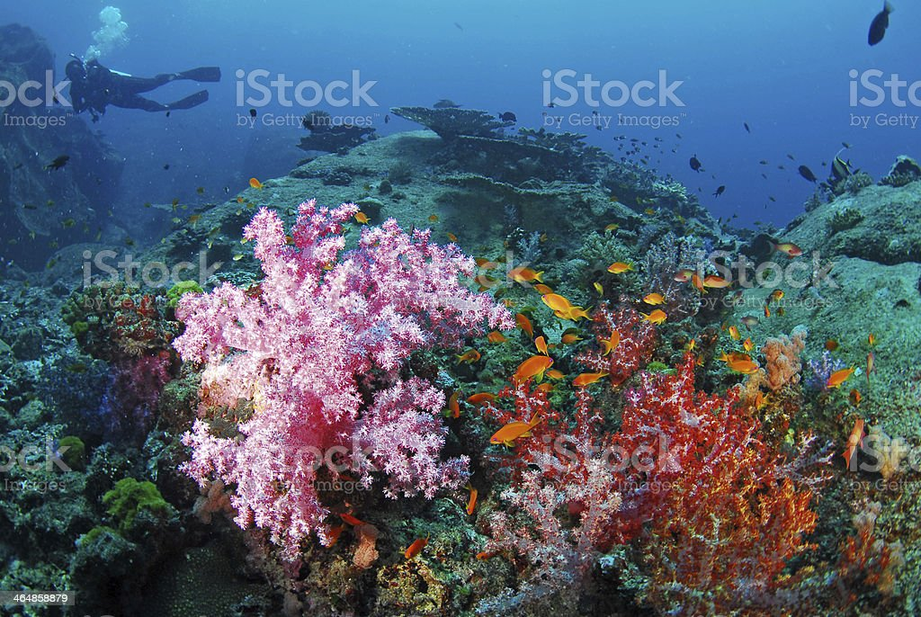 Beautiful colorful soft coral with diver, Similan, Thailand. stock photo