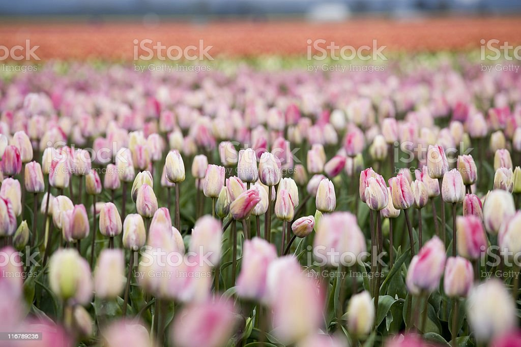 Beautiful colorful tulips in spring on a farm royalty-free stock photo